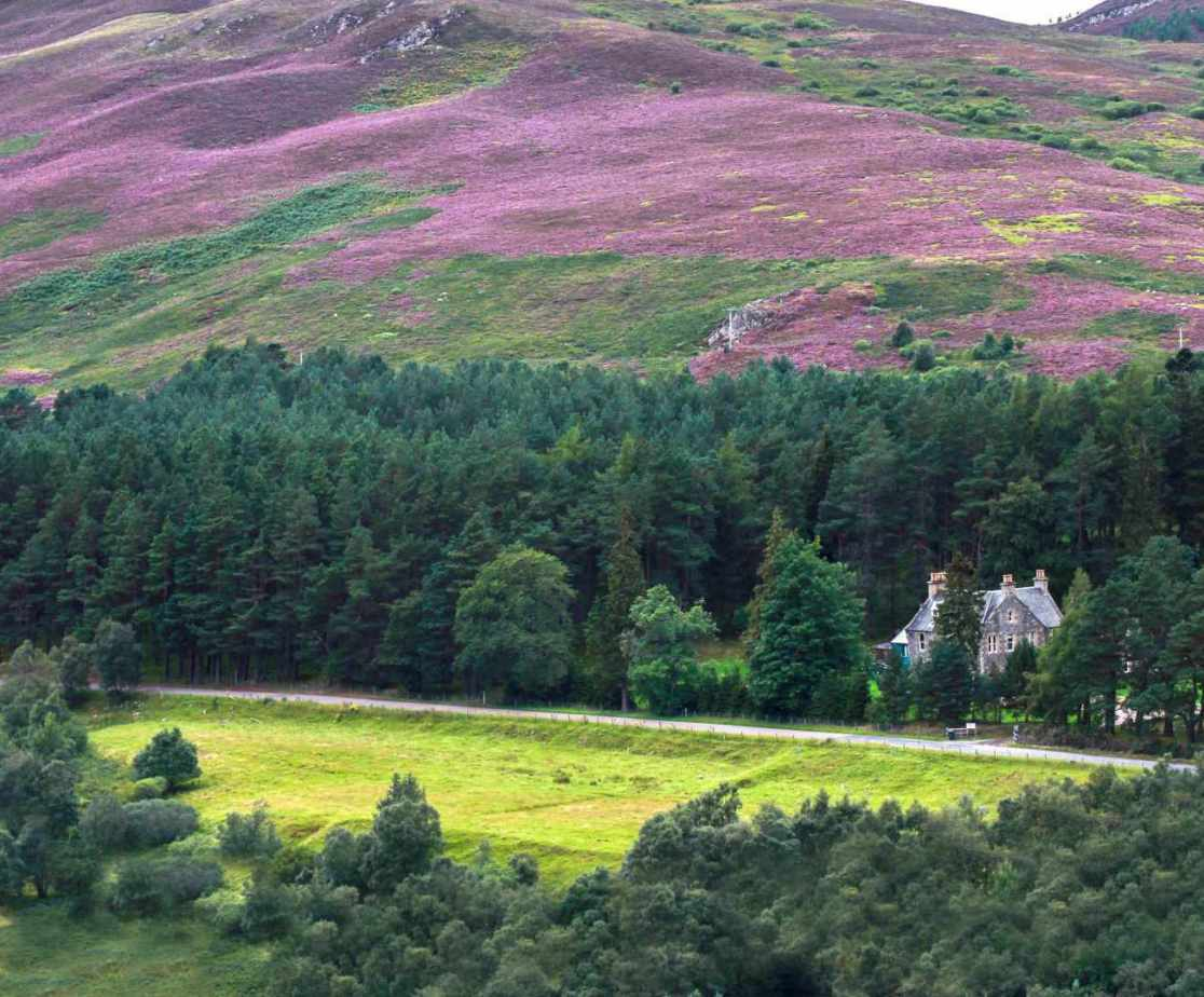 In late summer the heather becomes vibrant purple