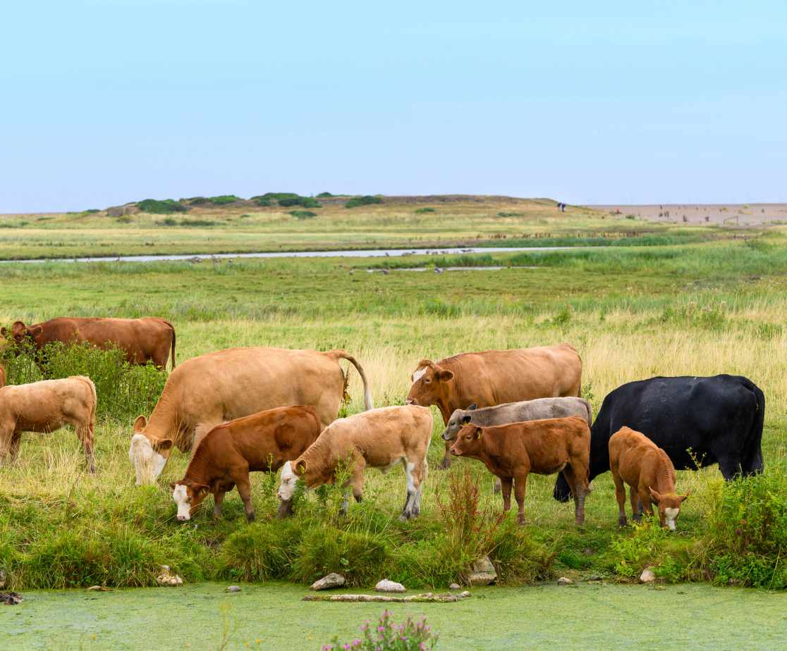 Cows grazing on Salthouse marshes