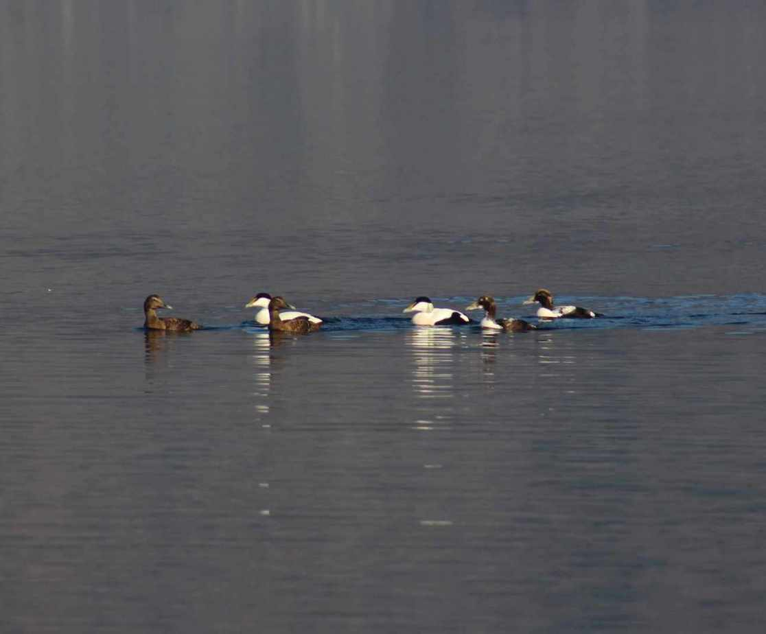 Eider ducks can be seen on the water