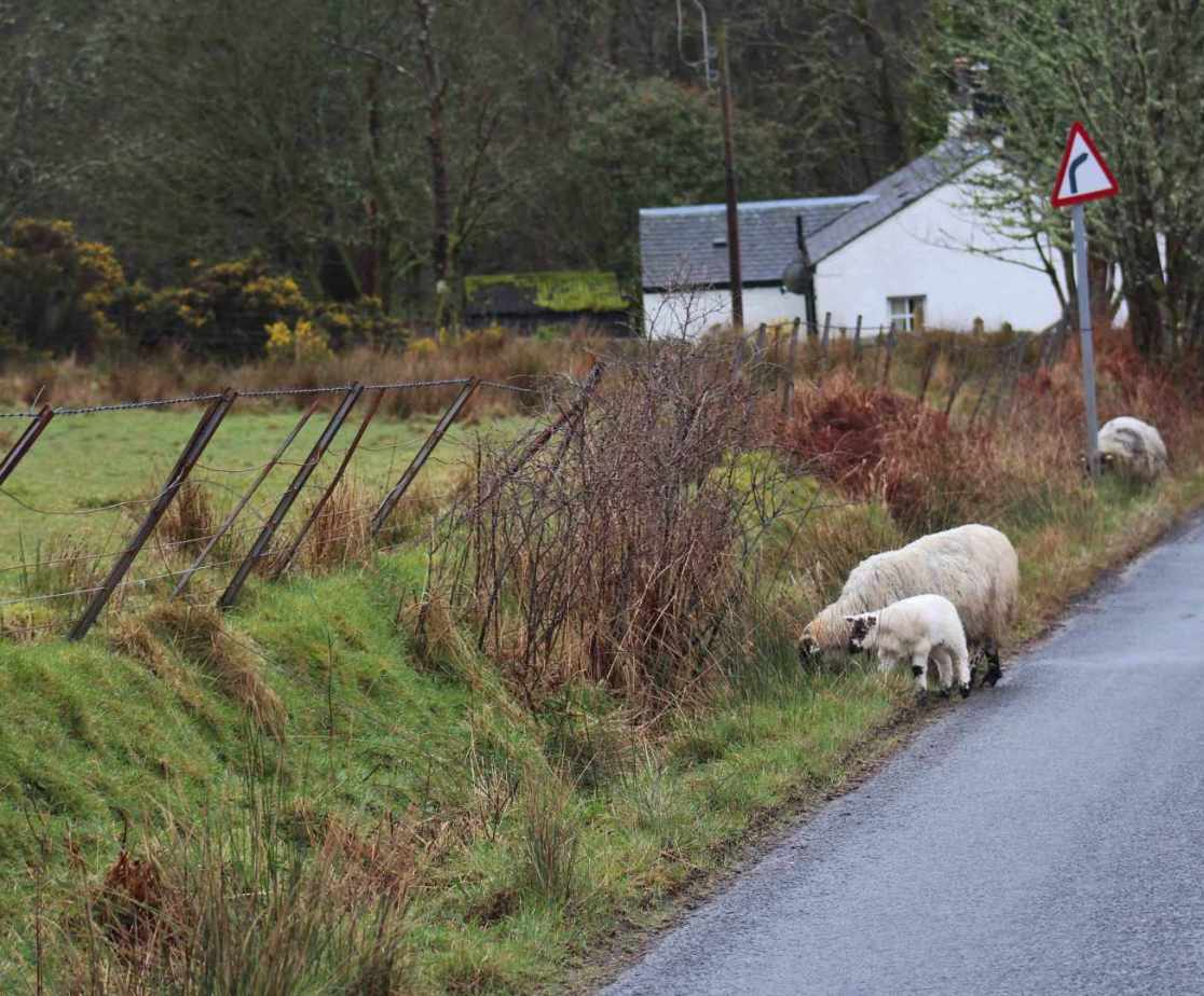 The local roads are for sheep too