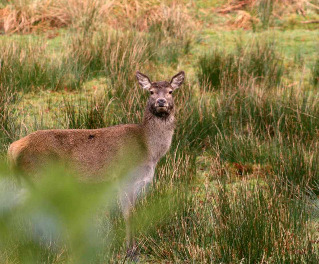 A glimpse of a red deer in the grounds at the front of the house